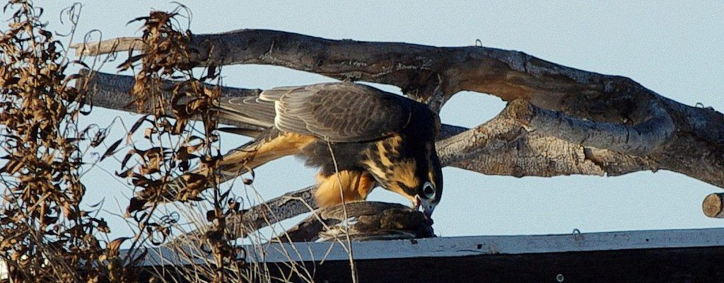 Released Aplomado Falcon Feeding On the Top of a Hack Box