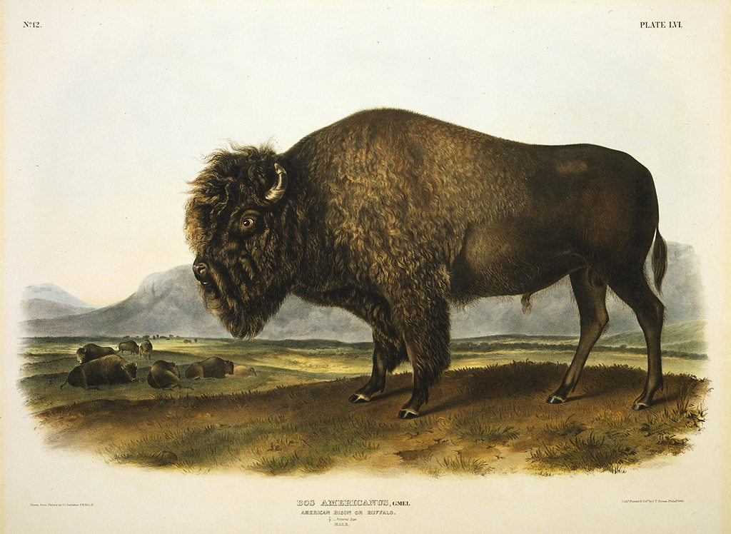 "John James Audubon. ""Bos Americanus, American Bison or Buffalo."" Hand-colored lithograph. Buffalo Bill Center of the West, Cody, Wyoming, USA. 156.69"