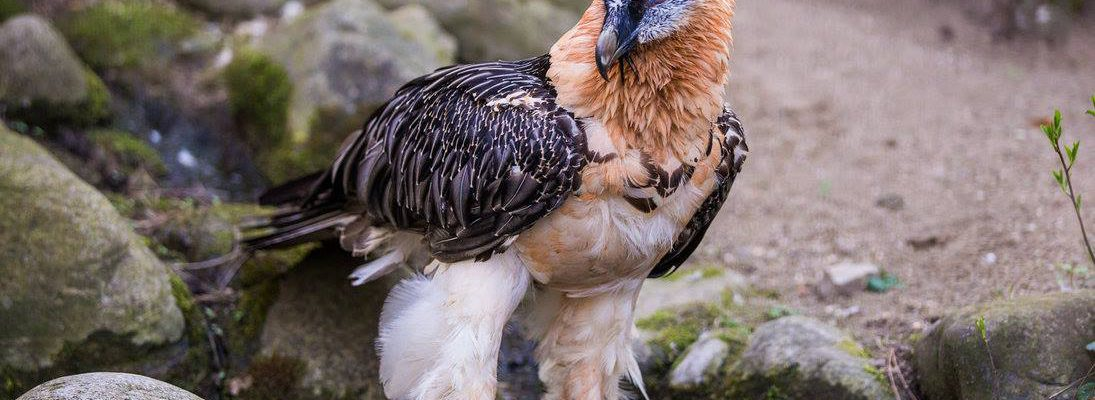 An Old World Bearded Vulture with its feathered head and neck.