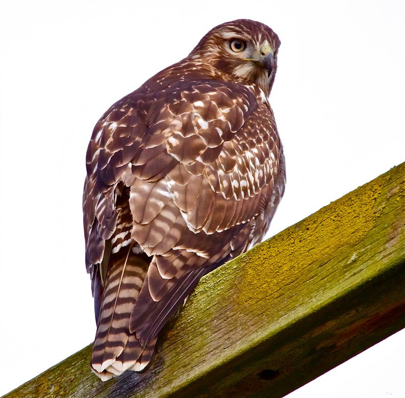 Immature Red-tailed Hawk with Brown, Banded Tail