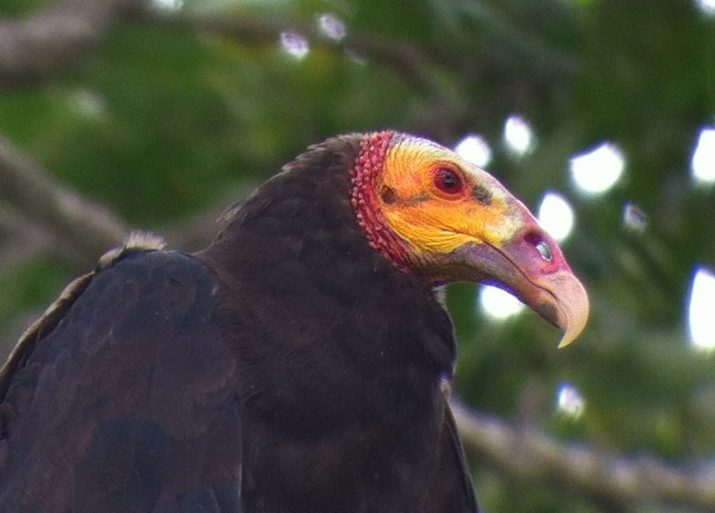 New World Lesser Yellow-headed Vultures can smell the gases rising off of carrion.