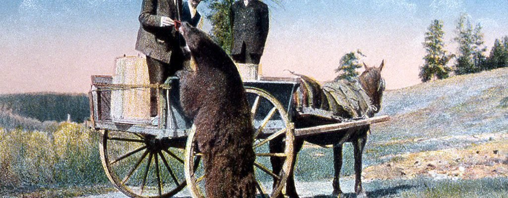 In this undated F.J. Haynes postcard, a Yellowstone bear gets a handout from visitors. NPS photo.