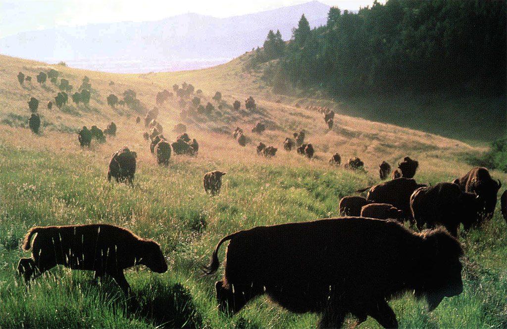 American Bison. Ken Blackbird photo, 1996.
