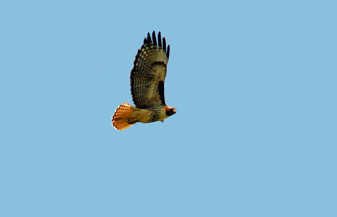 This Red-tail has the dash, comma markings on the wings, and has also maintained light banding on its red tail.