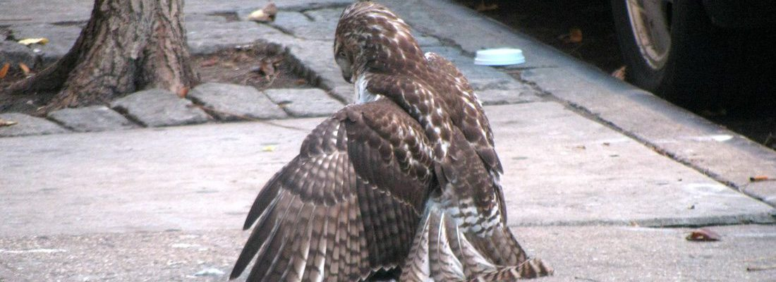 Immature Red-tailed Hawk, with a kill in front of an apartment building on East 11th Street, New York City.