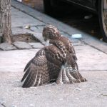 The Red-tailed Hawk: Why Are They So Common?