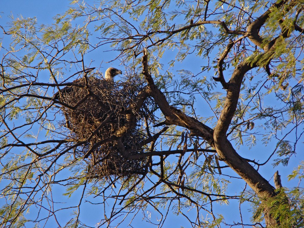 White-backed Vulture in Stick Nest