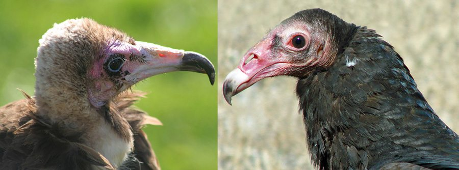 Old World Hooded Vulture and Suli, a New World Turkey Vulture