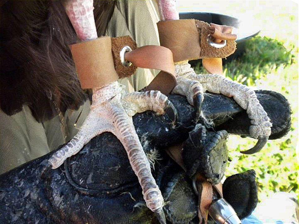 Suli, our Turkey Vulture's feet look like chicken or turkey feet.