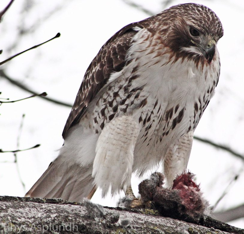 Red-tailed Hawk with belly band, feeding on a rabbit.