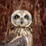 Treasures from Our West: Short-eared owl
