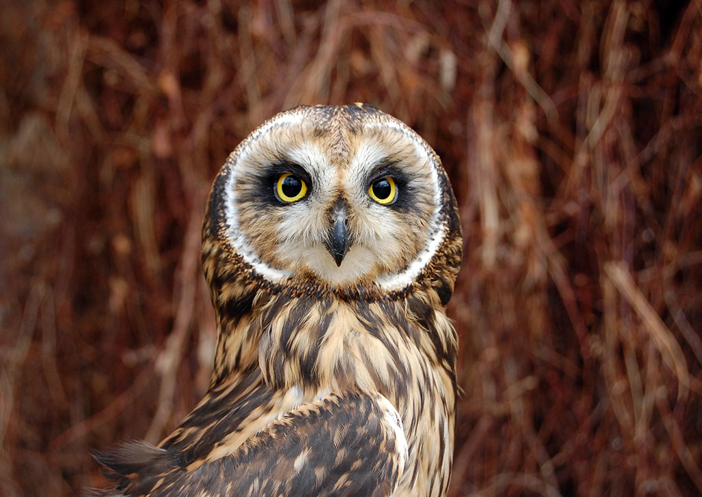 A Treasure from Our West: Amelia the short-eared owl