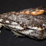 A Treasure from Our West: Flammulated owl specimen. DRA.304.404