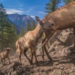 Treasures from Our West: Joe Riis photograph, Yellowstone Migrations – Elk