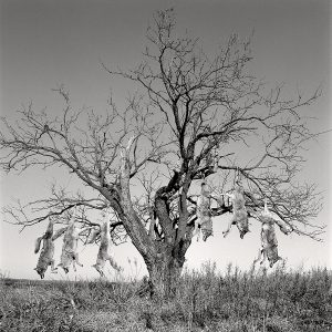 Laura Wilson. Mesquite Tree with Coyotes, Lambshead Ranch, Albany, Texas, January 9, 1988. Archival pigment print, 46 x 46 in. Private Collection.