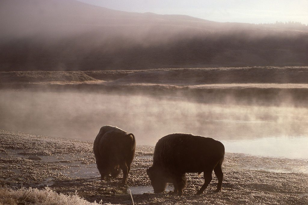 Bison in the Yellowstone River, 1977. NPS photo by J. Schmidt.