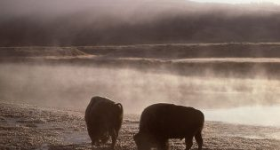 Bison/Yellowstone River, 1977. NPS photo by J. Schmidt.