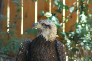 "Jade, showing a typical 3-year-old bald eagle's ""dirty"" head and mostly black beak."