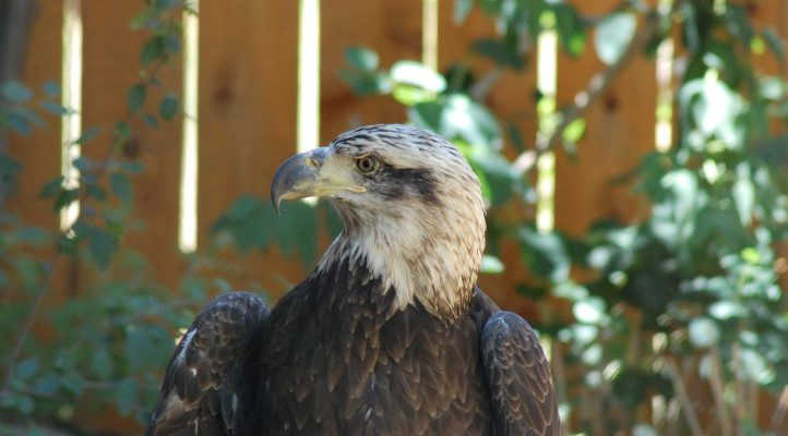 "Jade, showing classic 3 year old bald eagle's ""dirty"" head and mostly black beak."