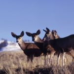 Free talk at Center of the West explores the problem of roads as barriers to mule deer migration