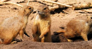 Prairie Dogs. Creative Commons.