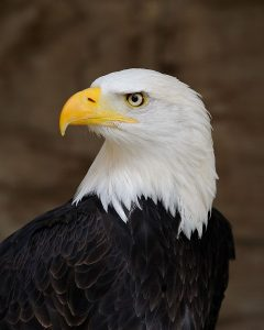 Adult bald eagle with fully white head and completely yellow beak.