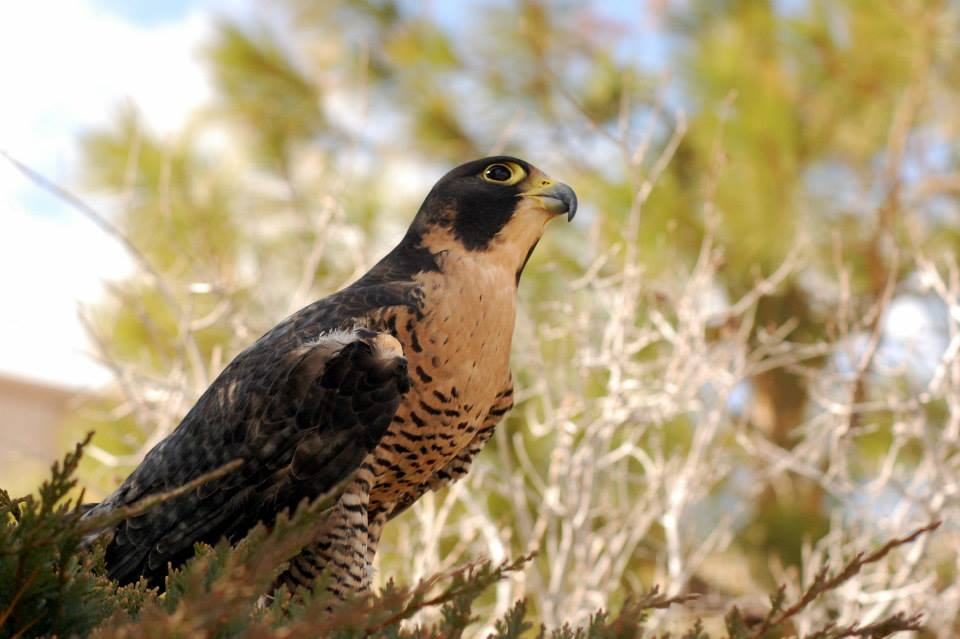 Hayabusa, Our Peregrine Falcon, Posing at a Photo Shoot