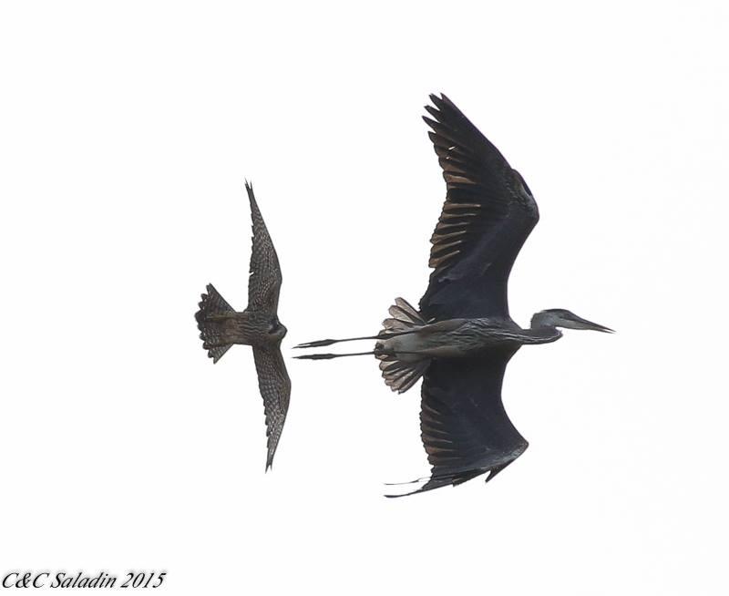 A Peregrine chasing a Blue Heron.