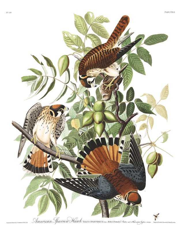 Audubon drawing of three Kestrels.