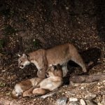 A trail camera captures two mountain lions. Leslie Patten speaks about the elusive animals at a May 2, 2019, talk.