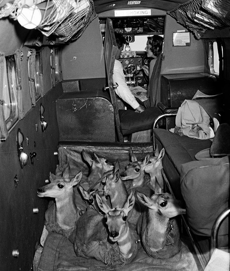 Belden photograph. Pronghorn antelope in cargo hold of plane. PN.67.696e