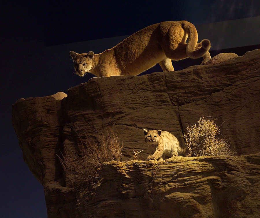 Mountain lion exhibit in the Draper Natural History Museum.