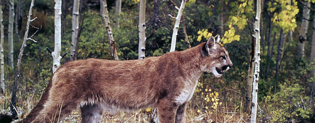 Cougar in Yellowstone National Park, n.d. NPS photo by W.L. Miller.