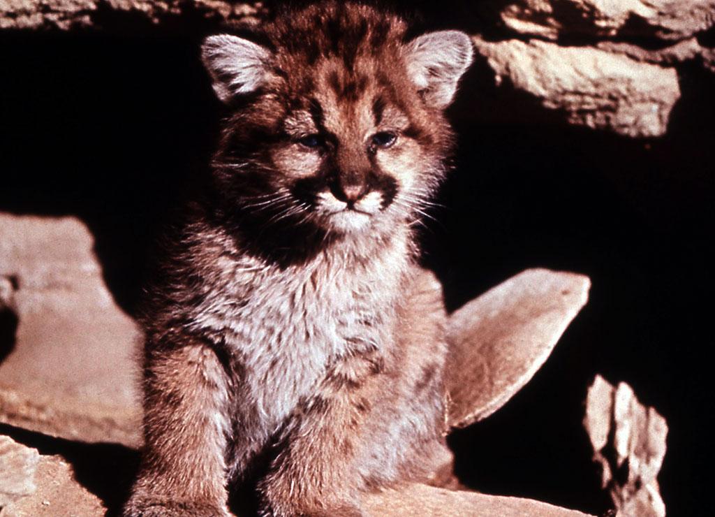 Cougar cub, n.d. NPS photo.