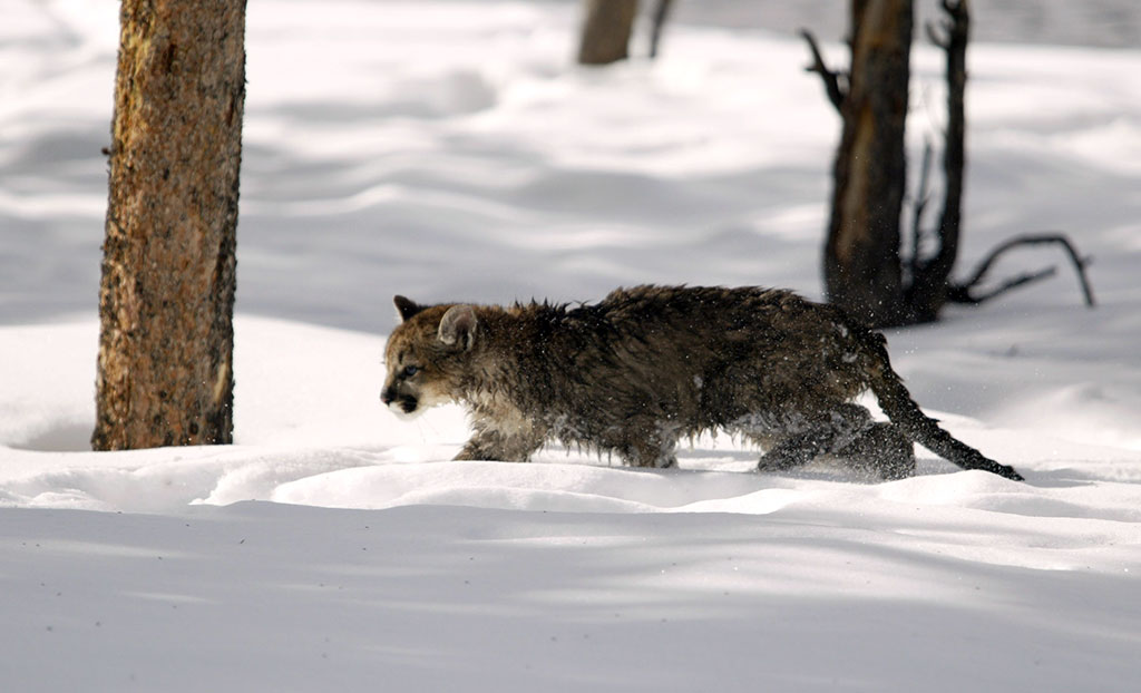 Cougar kitten in winter, Yellowstone National Park, 2004. NPS photo by Jim Peaco.