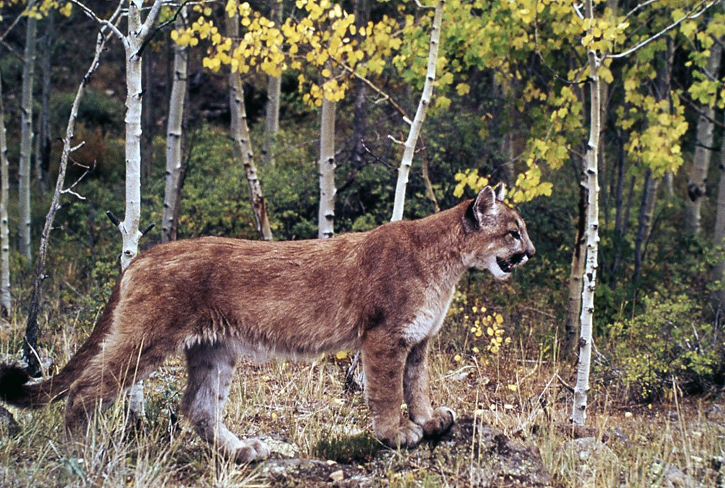 Points West Online: The Mountain Lion – Phantom in the Mountains