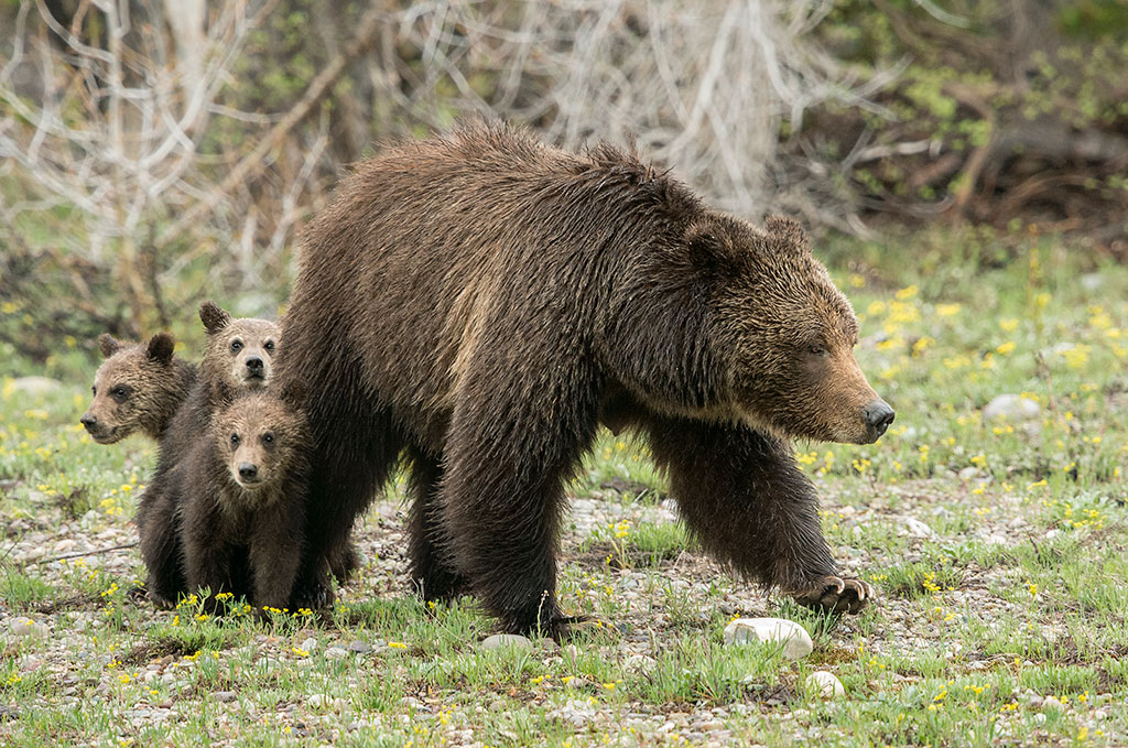A Thomas D. Mengelsen photo of Grizzly 399 with cubs.