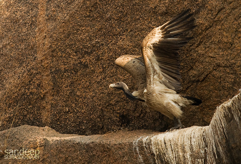 India's Long Billed Vulture is Critically Endangered