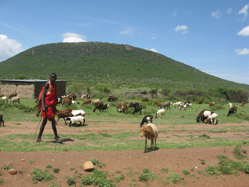 A Maasai Village with livestock.