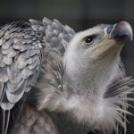 Kenya's Critically Endangered Ruppell's Vulture