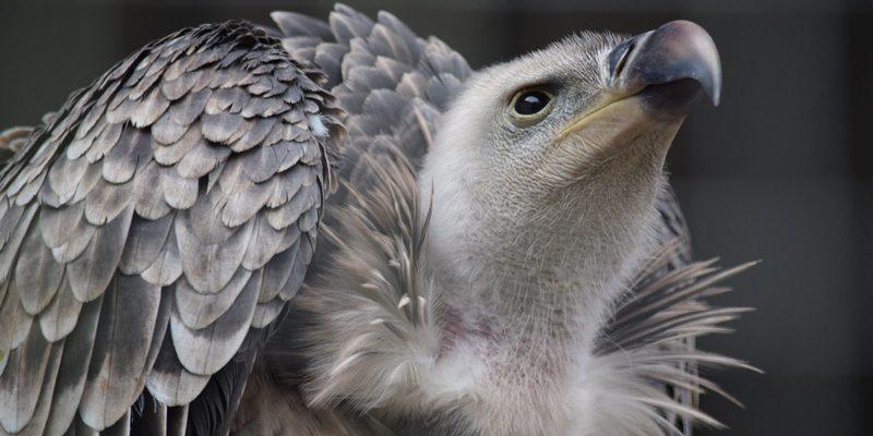 Kenya's Critically Endangered Ruppell's Vulture