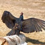 THE ESSENTIAL VULTURE Part 1:  Why We Should Love Them