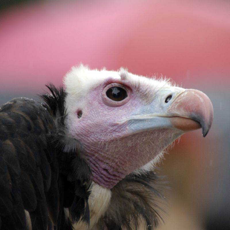 The White-headed Vulture lives in sub-Saharan Africa, and is critically endangered.