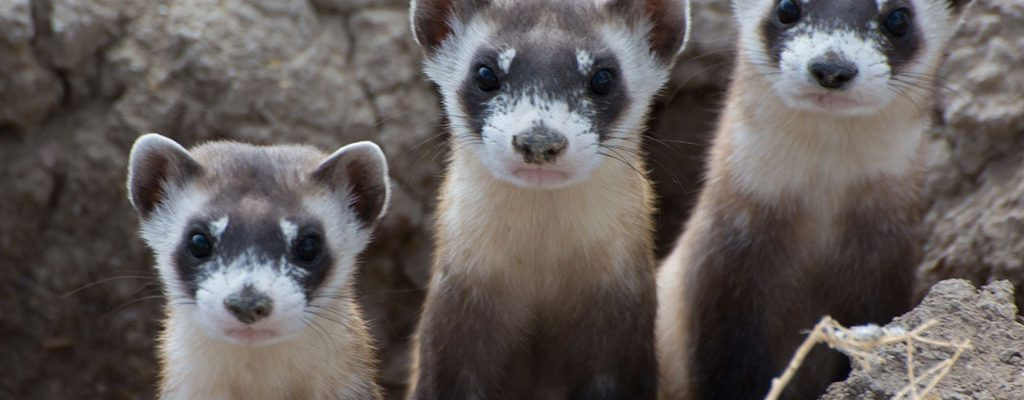 A trio of black-footed ferrets. Image courtesy National Black-Footed Ferret Conservation Center.