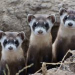Center of the West hosts documentary preview about black-footed ferrets in Wyoming