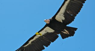 THE ESSENTIAL VULTURE Part 3: Methods of Saving Them
