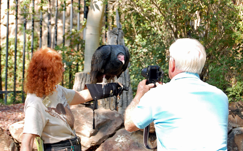 Suli, the Draper Museum's Turkey Vulture helping to educate people about vultures.