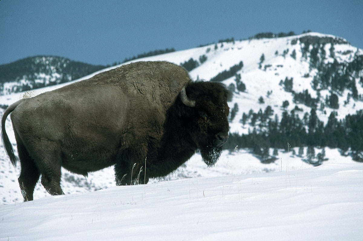 Bison bull in snow, ca. 1970–1998. MS 301 Gabby Barrus Slide Collection. SL.301.08.326
