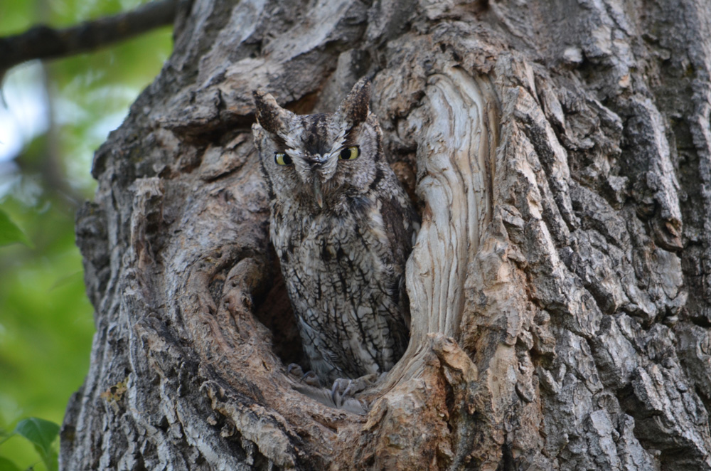 Western Screech-owl looking out from a tree cavity.
