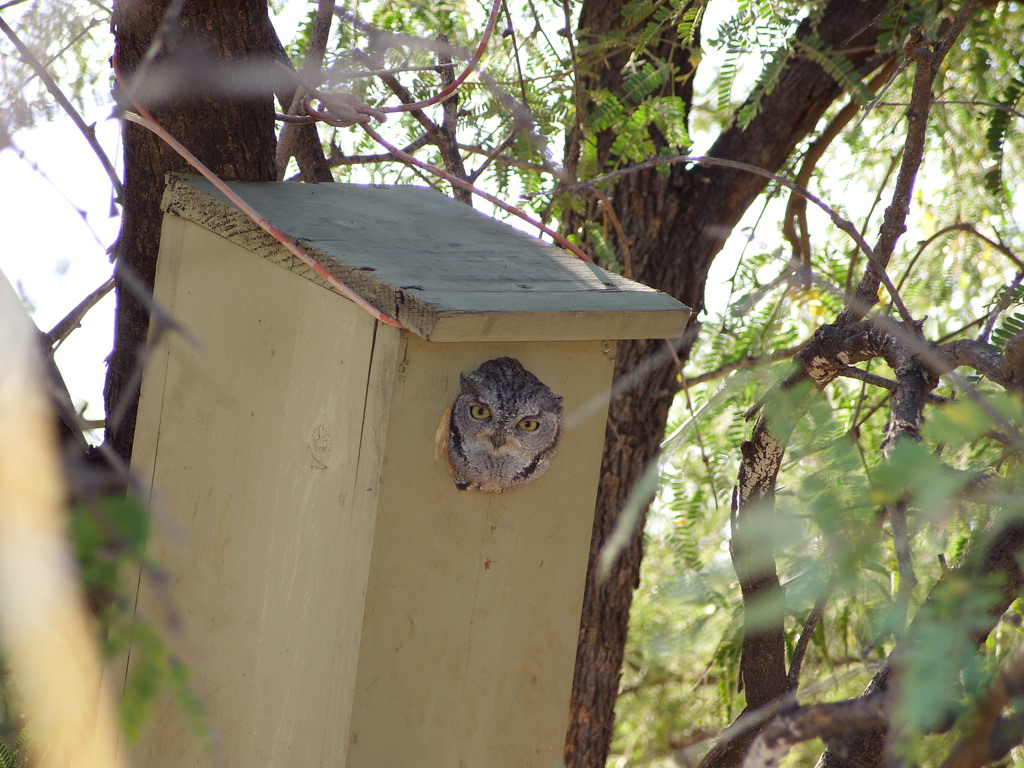 Western Screech-owl in Nesting Box.